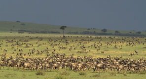 As planícies 2 de Masai-Mara Fotos de Stock Royalty Free