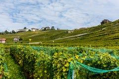 As plantações da uva Foto de Stock