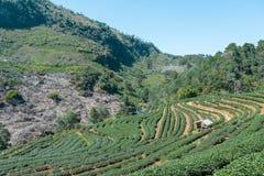 As plantações de chá Foto de Stock