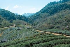 As plantações de chá Fotos de Stock