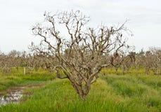 As plantações inoperantes da árvore. Foto de Stock Royalty Free