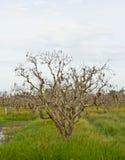 As plantações inoperantes da árvore. Fotografia de Stock Royalty Free