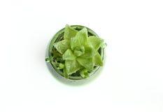 As plantas carnudas dadas forma lótus Fotografia de Stock Royalty Free