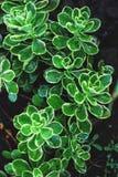 As plantas carnudas texture e fundo Fotos de Stock Royalty Free