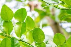 As plantas da erva, bergamota, cal do Kaffir saem na árvore Fotos de Stock Royalty Free