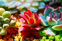 As plantas da planta carnuda Imagens de Stock Royalty Free