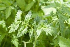 As plantas das plântulas do tomate nas estufas iluminaram-se pela luz solar Fotos de Stock Royalty Free