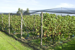 As plantas das uvas são protegidas por uma rede protetora. Fotos de Stock Royalty Free