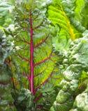 As plantas de acelga vermelhas e amarelas na manhã iluminam-se imagem de stock