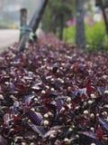 As plantas de colheita roxas da tampa Foto de Stock Royalty Free