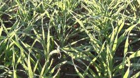 As plantas de colheitas do trigo de inverno do close up cobertas com a manhã do derretimento rimam Imagens de Stock