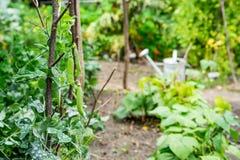 As plantas de ervilha verde escalam acima o suporte Imagens de Stock Royalty Free