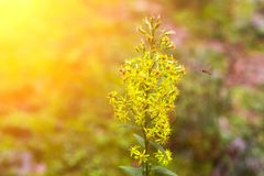 As plantas de florescência amarelas do Goldenrod ou da solidago em Wisconsin rural com as vespas que pollenating tarde no ano com imagem de stock royalty free