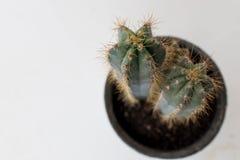 as plantas do cacto deram forma como uma estrela vista de cima com dos muitos espinha foto de stock