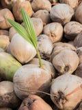 As plantas do coco são conhecidas para sua grande versatilidade como veem Fotografia de Stock Royalty Free