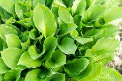 As plantas do Hosta fecham-se acima no jardim Fotos de Stock Royalty Free