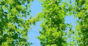 As plantas do lúpulo alto video estoque