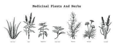 As plantas medicinais e as ervas entregam o illust da gravura do vintage do desenho ilustração do vetor