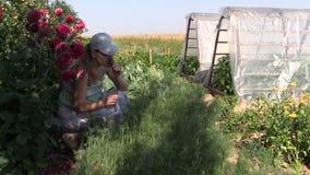 As plantas naturais saudáveis do aneto da picareta da mulher do jardineiro no eco jardinam vídeos de arquivo