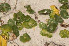 As plantas recuperam um Sanddune em Emerald Isle imagem de stock royalty free