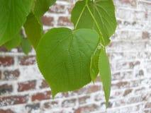 As plantas verdes bonitas cobrem uma parede de tijolo fotografia de stock royalty free