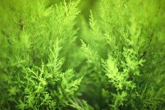 As plantas verdes naturais ajardinam usando-se como um fundo foto de stock