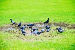 As pombas estão alimentando Foto de Stock Royalty Free