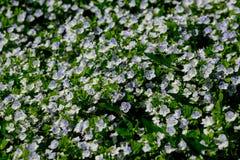 As primeiras flores da mola Imagem de Stock Royalty Free