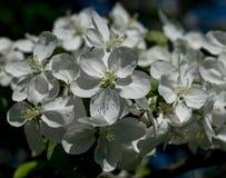 As primeiras flores da mola Foto de Stock Royalty Free