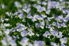 As primeiras flores da mola Fotos de Stock Royalty Free