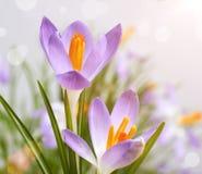 As primeiras flores da mola, açafrões Fotografia de Stock
