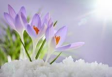 As primeiras flores da mola, açafrões Foto de Stock Royalty Free