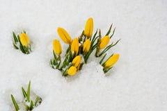 As primeiras flores da mola Açafrões amarelos na neve Imagens de Stock