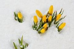 As primeiras flores da mola Açafrões amarelos na neve Imagem de Stock Royalty Free