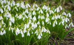 As primeiras flores da mola Flores de Snowdrops Flores no sol Fotografia de Stock Royalty Free