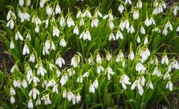 As primeiras flores da mola Flores de Snowdrops Flores no sol Fotos de Stock