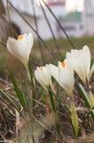 As primeiras flores da mola do açafrão no território do convento de Novodevichy Imagens de Stock Royalty Free