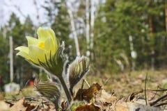 As primeiras flores da mola do a?afr?o da pradaria, flor de Pasque, an?mona de pradaria, fumo de pradaria, patens do Pulsatilla d fotografia de stock