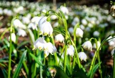 As primeiras flores da mola Flores de Snowdrops em um fundo o Fotografia de Stock Royalty Free