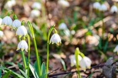 As primeiras flores da mola Flores de Snowdrops em um fundo o Imagem de Stock