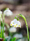 As primeiras flores da mola Flores de Snowdrops em um fundo o Fotos de Stock Royalty Free