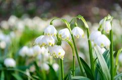 As primeiras flores da mola Flores de Snowdrops em um fundo o Imagens de Stock Royalty Free