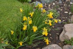As primeiras flores da mola, narcisos amarelos bonitos foto de stock