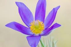 As primeiras flores da mola Prímula violeta da floresta Fotos de Stock Royalty Free