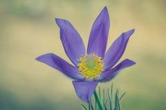 As primeiras flores da mola Prímula violeta da floresta Pri violeta Imagem de Stock