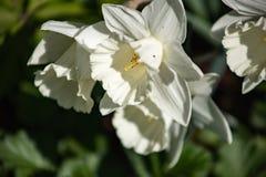 As primeiras flores da mola s?o narcisos amarelos brancos em um fundo do close-up da folha imagem de stock