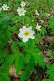 As primeiras flores da mola, uma anêmona da floresta imagens de stock