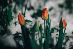As primeiras flores das tulipas da mola sob a neve Está nevando na noite ou na noite Cartão da mola com tulipas fotografia de stock royalty free