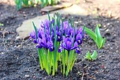 As primeiras flores de açafrões da mola Foto de Stock
