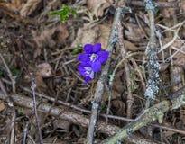 As primeiras flores roxas do Hepatika para fazer sua maneira atrav?s das folhas do ano passado na floresta, na mola adiantada foto de stock